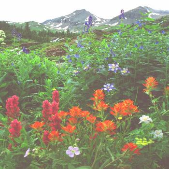 Wildflowers in Yankee Boy Basin above Ouray, Colorado